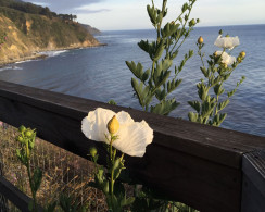 White poppies against a backdrop of sea and sky at the beautiful Esalen Institute